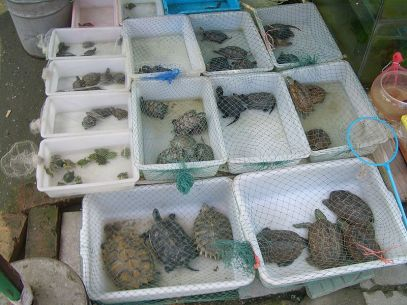Variety of turtles for sale in Chinese market (Vmenkov).