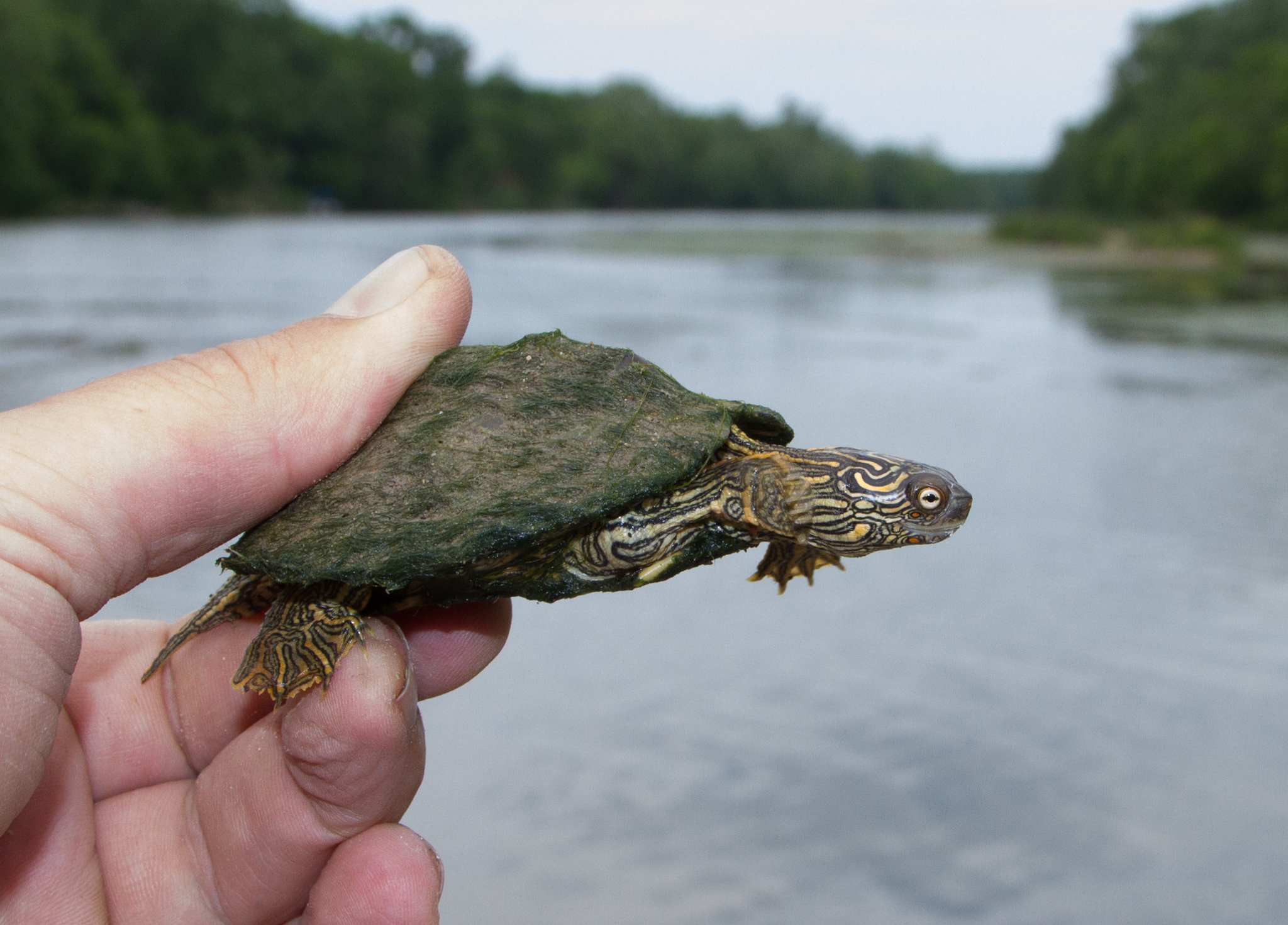 Discussion on this topic: How to Catch Water Turtles, how-to-catch-water-turtles/