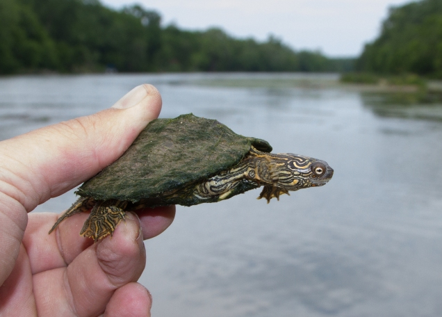 Texas map turtle, Colorado River, Travis County, Texas (Cullen Hanks).