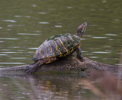 Red-eared slider, Estero Llano Grande State Park, Hidalgo County, Texas (Cullen Hanks).
