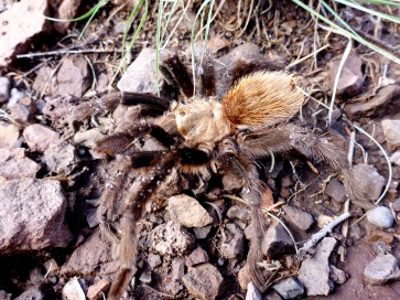 Texas brown tarantula, Aphonopelma hentzi. Photo by Ben Hutchins.