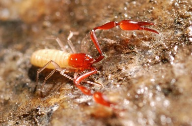 Undetermined pseudoscorpion. Photo by Dr. Jean Krejca, Zara Environmental LLC.