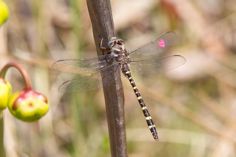 Texas rarest dragonflies tied to rare natural community for Texas non game fish
